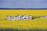 OCC BEE KEE  MB  IAW1804027DBEEHIVES IN CANOLA FIELDST. AGATHE                        07                   © IAN A. WARD                   ALL RIGHTS RESERVEDBEEKEEPING;BEES;CANOLA;CROPS;FARMING;HONEY;MANITOBA;MB_;OCCUPATIONS;PLAINS;PRAIRIES;RURAL;SUMMERLONE PINE PHOTO              (306) 683-0889
