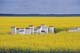 BEEHIVES IN CANOLA FIELD, ST. AGATHE
