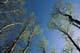 ASPEN, NEW LEAVES, TURTLE MOUNTAIN PROVINCIAL PARK
