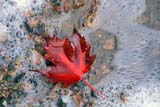 SEA AUT SCE  MB  LDL1000233DSCARLET MAPLE LEAF IN FOAM ON SHORE OF LAKEACADIA NAT PARK                09..© DIANE LACKIE                  ALL RIGHTS RESERVEDACADIA_NP;AUTUMN;ATLANTIC;FOAM;LAKES;LEAVES;MANITOBA;MAPLES;MARITIMES;MB_;NP_;SCENES;WATERLONE PINE PHOTO              (306) 683-0889