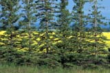 SEA SUM SCE  MB     1610751DEVERGREENS AND CANOLAGRANDVIEW                         08                   © CLARENCE W. NORRIS      ALL RIGHTS RESERVEDCANOLA;EVERGREENS;FARMING;GRANDVIEW;MANITOBA;MB_;PLAINS;PRAIRIES;RURAL;SCENES;SHELTER_BELTS;SUMMER;TREES;WINDBREAKSLONE PINE PHOTO              (306) 683-0889