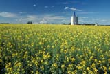 SEA SUM SCE  MB     1612863DUGG ELEVATOR AND CANOLAFANNY STEELE                      08                  © CLARENCE W. NORRIS      ALL RIGHTS RESERVEDCANOLA;CROPS;ELEVATORS;FANNY_STEELE;FARMING;FIELDS;GRAIN_TERMINALS;MANITOBA;MB_;PLAINS;PRAIRIES;RURAL;SCENES;SUMMER;TERMINALS;UGGLONE PINE PHOTO              (306) 683-0889