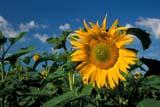 SEA SUM SCE  MB   WS212650DSUNFLOWER FIELDDELORAINE                           07                   © WAYNE SHIELS                ALL RIGHTS RESERVEDCROPS;DELORAINE;FARMING;FIELDS;MANITOBA;MB_;PLAINS;PRAIRIES;RURAL;SCENES;SUNFLOWERS;SUMMERLONE PINE PHOTO              (306) 683-0889