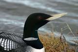 SEA SUM SCE  NU  MTT1400DX  YELLOW-BILLED LOON ON NEST ON GUARDCAMBRIDGE BAY                  07..© MIKE TOBIN                     ALL RIGHTS RESERVEDARCTIC;BIRDS;CAMBRIDGE_BAY;LOONS;NEST;NORTH;NU_;NUNAVUT;SUMMER;TUNDRA;YELLOW-BILLED_LOONLONE PINE PHOTO              (306) 683-0889