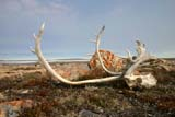 SEA SUM SCE  NU  MTT1421DX  CARIBOU HORNS AND MOUNT PELLYCAMBRIDGE BAY                  07..© MIKE TOBIN                     ALL RIGHTS RESERVEDANIMALS;ANTLERS;ARCTIC;CAMBRIDGE_BAY;CARIBOU;HORNS;HUNTING;LAKE;LICHEN;NORTH;NU_;NUNAVUT;SUMMER;TUNDRALONE PINE PHOTO              (306) 683-0889
