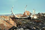 SEA SUM SCE  NU  MTT1000063DCARIBOU SKULL AND ANTLERS ON TUNDRACAMBRIDGE BAY                  07/..© MIKE TOBIN                     ALL RIGHTS RESERVEDANIMALS;ANTLERS;ARCTIC;CAMBRIDGE_BAY;CARIBOU;HORNS;HUNTING;LAKE;LICHEN;NORTH;NU_;NUNAVUT;SUMMER;TUNDRALONE PINE PHOTO              (306) 683-0889