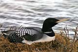 SEA SUM SCE  NU  MTT1390DX  YELLOW-BILLED LOON ON NEST CAMBRIDGE BAY                  07..© MIKE TOBIN                     ALL RIGHTS RESERVEDARCTIC;BIRDS;CAMBRIDGE_BAY;LOONS;NEST;NORTH;NU_;NUNAVUT;SUMMER;TUNDRA;YELLOW-BILLED_LOONLONE PINE PHOTO              (306) 683-0889