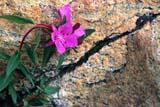 SEA SUM SCE  NU  JLB0102229D            CLOSE-UP OF DWARF FIREWEEDWAGER BAY                             08/. .© JOHN L. BYKERK                   ALL RIGHTS RESERVEDARCTIC;DWARF_FIREWEED;FIREWEED;FLOWERS;NORHT;NU_;NUNAVUT;SEASONS;TUNDRA;WAGER_BAY;WILDFLOWERSLONE PINE PHOTO                  (306) 683-0889