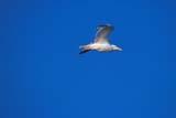 SEA SUM SCE  NU  JLB0103728DHERRING GULL IN FLIGHTWAGER BAY                        07© JOHN L. BYKERK              ALL RIGHTS RESERVEDARCTIC;BIRDS;FLIGHT;GULLS;HERRING_GULLS;NU_;NUNAVUT;SKY;SUMMER;TUNDRA;WAGER_BAYLONE PINE PHOTO              (306) 683-0889