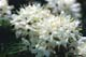 CLOSE-UP OF LABRADOR TEA FLOWERS, WAGER BAY