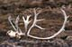 CARIBOU SKULL AND ANTLERS ON TUNDRA, CAMBRIDGE BAY