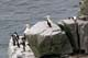 NORTHERN GANNETS AND COMMON MURRES, CAPE ST. MARY'S ECOLOGICAL RESERVE