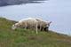 SHEEP GRAZING, CAPE ST. MARY'S ECOLOGICAL RESERVE