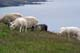 YOUNG SHEEP, CAPE ST. MARY'S ECOLOGICAL RESERVE