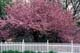 CRABAPPLE BLOSSOMS AND WHITE PICKET FENCE, PORT PERRY