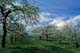 CORTLAND APPLE TREES IN BLOOM, OCALA ORCHARDS, SCUGOG