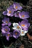 SEA SPR SCE  ON  BMM1001262D  VTCROCUSESPORT DALHOUSIE                04/..© BEV MCMULLEN                ALL RIGHTS RESERVEDBULLETINS;CENTRAL;CROCUSES;FLOWERS;ON_;ONTARIO;PORT_DALHOUSIE;SPRING;VTLLONE PINE PHOTO              (306) 683-0889