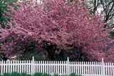 SEA SPR SCE  ON  LDL1000452DCRABAPPLE BLOSSOMS AND WHITE PICKET FENCEPORT PERRY                         05/..© DIANE LACKIE                    ALL RIGHTS RESERVEDCENTRAL;CRABAPPLE;FENCES;FLOWERS;FRUIT_TREES;ON_;ONTARIO;PORT_PERRY;SCENES;SPRING;TREESLONE PINE PHOTO              (306) 683-0889