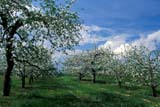SEA SUM SCE  ON  LDL1000372DCORTLAND APPLE TREES IN BLOOMOCALA ORCHARDSSCUGOG                                   06..© L. DIANE LACKIE                    ALL RIGHTS RESERVEDAPPLES;CENTRAL;CORTLAND;FARMING;FRUIT_TREES;OCALA_ORCHARDS;ON_;ONTARIO;ORCHARDS;SCUGOG;SCENES;SUMMER;TREESLONE PINE PHOTO                  (306) 683-0889
