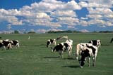 SEA AUT SCE  AB  CWN2207714DHOLSTEIN CATTLE IN PASTURETHORSBY                            09/..© CLARENCE W. NORRIS       ALL RIGHTS RESERVEDAB_;ANIMALS;ALBERTA;AUTUMN;CATTLE;DAIRY;FARMING;HOLSTEIN;LIVESTOCK;PASTURES;PLAINS;PRAIRIES;RURAL;SCENES;THORSBYLONE PINE PHOTO              (306) 683-0889