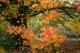 MAPLE TREE IN FALL, HEMLOCK VALLEY, HARRISON MILLS