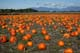PUMPKINS IN FIELD, LADNER