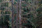 SEA AUT SCE  BC  IAW036501DCEDAR TREES AND MOSSWHISTLER                        09© IAN A. WARD                ALL RIGHTS RESERVEDALPINE;AUTUMN;BC_;BRITISH;BRITISH_COLUMBIA;CEDARS;COLUMBIA;CORDILLERA;MOSS;SCENES;TREES;WHISTLERLONE PINE PHOTO              (306) 683-0889