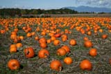 SEA AUT SCE  BC  WFS07A6456DXPUMPKINS IN FIELDLADNER                              10© WILLIAM F. SMITH            ALL RIGHTS RESERVEDAUTUMN;BC_;BRITISH;BRITISH_COLUMBIA;COLUMBIA;CORDILLERA;CROPS;FARMING;FIELDS;FOOD;INTERIOR;LADNER;PUMPKINS;RURAL;SCENESLONE PINE PHOTO              (306) 683-0889