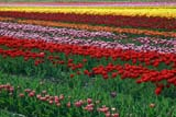 SEA SPR SCE  BC  WFS04A7956DXROSEDALE TULIPSCHILLIWACK                        04/..© WILLIAM F. SMITH            ALL RIGHTS RESERVEDALPINE;BC_;BRITISH;BRITISH_COLUMBIA;CHILLIWACK;COLUMBIA;CORDILLERA;CROPS;FARMING;FIELDS;FLOWERS;INDUSTRY;INTERIOR;RURAL;SCENES;SPRING;TULIPSLONE PINE PHOTO              (306) 683-0889