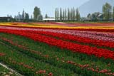 SEA SPR SCE  BC  WFS04A7959DXROSEDALE TULIPSCHILLIWACK                        04/..© WILLIAM F. SMITH            ALL RIGHTS RESERVEDALPINE;BC_;BRITISH;BRITISH_COLUMBIA;CHILLIWACK;COLUMBIA;CORDILLERA;CROPS;FARMING;FIELDS;FLOWERS;INDUSTRY;INTERIOR;RURAL;SCENES;SPRING;TULIPSLONE PINE PHOTO              (306) 683-0889