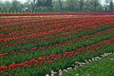 SEA SPR SCE  BC  WFS04A7961DXFENCE AND TULIP FIELDROSEDALE                          ../..© WILLIAM F. SMITH            ALL RIGHTS RESERVEDALPINE;BC_;BRITISH;BRITISH_COLUMBIA;COLUMBIA;CORDILLERA;CROPS;FARMING;FIELDS;FLOWERS;INDUSTRY;INTERIOR;ROSEDALE;RURAL;SCENES;SPRING;TULIPSLONE PINE PHOTO              (306) 683-0889