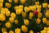 SEA SPR SCE  BC  WFS04A7970DXTULIPSROSEDALE                          ../..© WILLIAM F. SMITH            ALL RIGHTS RESERVEDALPINE;BC_;BRITISH;BRITISH_COLUMBIA;COLUMBIA;CORDILLERA;DOMESTIC;FARMING;FLOWERS;INTERIOR;ROSEDALE;RURAL;SCENES;SPRING;TULIPSLONE PINE PHOTO              (306) 683-0889