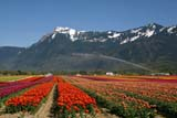 SEA SPR SCE  BC  WFS04A7993DXMT. CHEAM WITH TULIPS AND IRRIGATIONROSEDALE                          ../..© WILLIAM F. SMITH            ALL RIGHTS RESERVEDALPINE;BC_;BRITISH;BRITISH_COLUMBIA;COLUMBIA;CORDILLERA;CROPS;FARMING;FIELDS;FLOWERS;INTERIOR;IRRIGATION;MOUNTAINS;MT_CHEAM;ROSEDALE;RURAL;SCENES;SPRING;TULIPSLONE PINE PHOTO              (306) 683-0889