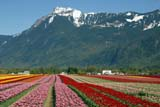 SEA SPR SCE  BC  WFS04A8009DXTULIPS AND MT. CHEAMROSEDALE                           ../..© WILLIAM F. SMITH            ALL RIGHTS RESERVEDALPINE;BC_;BRITISH;BRITISH_COLUMBIA;COLUMBIA;CORDILLERA;CROPS;FARMING;FIELDS;FLOWERS;INTERIOR;MOUNTAINS;MT_CHEAM;ROSEDALE;RURAL;SCENES;SPRING;TULIPSLONE PINE PHOTO              (306) 683-0889