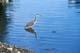 GREAT BLUE HERON FISHING, VANCOUVER