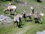 PAR NAT BAN  AB  CWN02D2168D BIGHORN SHEEP FEEDING ON GRASSTWO JACK LAKEBANFF NATIONAL PARK             08..© CLARENCE W. NORRIS           ALL RIGHTS RESERVEDAB_;ALBERTA;ALPINE;ANIMALS;BANFF_NP;BIGHORN_SHEEP;CORDILLERA;NP_;SHEEP;SUMMER;TWO_JACK_LAKELONE PINE PHOTO                  (306) 683-0889
