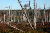 PAR NAT CAP  NS  CRS06A0077DXWEATHERED TREES KILLED BY SPRUCE BUDWORM IN THE 1970'SCAPE BRETON HIGHLANDS NAT PKCAPE BRETON ISLAND                    10© CLIFF SANDESON                        ALL RIGHTS RESERVEDATLANTIC;AUTUMN;CAPE_BRETON_HIGHLANDS_NP;CAPE_BRETON_ISLAND;EAST_COAST;FOREST;MARITIMES;NOVA;NOVA_SCOTIA;NP_;NS_;RURAL;SCENES;SCOTIA;SPRUCE_BUDWORM;SPRUCES;TREESLONE PINE PHOTO              (306) 683-0889