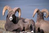 PAR NAT JAS  AB  DSR0001087D ROCKY MOUNTAIN BIGHORN SHEEPJASPER NATIONAL PARK      10/09© DUANE S. RADFORD         ALL RIGHTS RESERVEDAB_;ALPINE;ALBERTA;ANIMALS;AUTUMN;BIGHORN_SHEEP;CORDILLERA;JASPER_NP;NP_;SHEEPLONE PINE PHOTO              (306) 683-0889