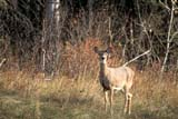 PAR NAT P.A.  SK   WS11556DWHITE-TAIL DEER DOE AT FOREST EDGEPRINCE ALBERT NAT. PARK   04..© WAYNE SHIELS                 ALL RIGHTS RESERVEDANIMALS;BOREAL;DEER;NP_;PARKLAND;PRINCE_ALBERT_NP;SASKATCHEWAN;SK_;SPRING;WHITE_TAIL_DEERLONE PINE PHOTO               (306) 683-0889
