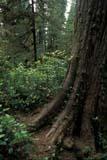 PAR NAT PAC  BC     2106616D  VTBASE OF CEDAR TREEPACIFIC RIM NAT. PARK        07/..© CLARENCE W. NORRIS      ALL RIGHTS RESERVEDBC_;BRITISH;BRITISH_COLUMBIA;CEDARS;COLUMBIA;FOREST;NP_;OLD_GROWTH_FOREST;PACIFIC;PACIFIC_RIM_NP;RAINFOREST;SUMMER;TREES;VANCOUVER_ISLAND;VTL;WEST_COASTLONE PINE PHOTO              (306) 683-0889