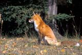 PAR NAT P.A.  SK     1015338DRED FOX SITTING ON GRASS IN AUTUMN LEAVESPRINCE ALBERT NAT. PARK       0928© CLARENCE W. NORRIS          ALL RIGHTS RESERVEDANIMALS;AUTUMN;BOREAL;FOXES;NP_;PARKLAND;PRINCE_ALBERT_NP;SASKATCHEWAN;SK_;RED_FOXLONE PINE PHOTO                  (306) 683-0889