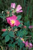 PAR NAT RID  MB  PNB2000441D  VTWILD ROSERIDING MOUNTAIN NAT. PK   ../..© PAUL BROWNE                 ALL RIGHTS RESERVEDBULLETINS;FLOWERS;MANITOBA;MB_;NP_;PLAINS;PLATEAU;PRAIRIES;RIDING_MOUNTAIN_NP;ROSES;SUMMER;VTL;WILD_ROSE;WILDFLOWERSLONE PINE PHOTO              (306) 683-0889