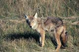 PAR NAT RID  MB  PNB2002307DCOYOTE IN GRASSRIDING MOUNTAIN NAT. PK   ../..© PAUL BROWNE                 ALL RIGHTS RESERVEDANIMALS;COYOTE;MANITOBA;MB_;NP_;PLAINS;PLATEAU;PRAIRIES;RIDING_MOUNTAIN_NP;SPRING LONE PINE PHOTO              (306) 683-0889