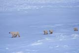 PAR NAT WAP  NU  JLB0106503DFEMALE POLAR BEAR AND THREE CUBS IN SNOWCAPE CHURCHILLWAPUSK NATIONAL PARK      11..© JOHN L. BYKERK                ALL RIGHTS RESERVEDANIMALS;ARCTIC;BEARS;CAPE_CHURCHILL;CUBS;FAMILIES;NP_;NU_;NUNAVUT;POLAR_BEAR;SNOW;WAPUSK_NP;WINTERLONE PINE PHOTO                (306) 683-0889