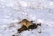 RICHARDSON GROUND SQUIRREL IN SNOW, ELK ISLAND NATIONAL PARK