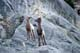 BIGHORN SHEEP LAMBS, SYNCLINE RIDGE, JASPER NATIONAL PARK