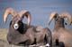 ROCKY MOUNTAIN BIGHORN SHEEP, JASPER NATIONAL PARK