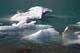 ICE FLOES ON LAKE, MT. EDITH CAVELL, JASPER NATIONAL PARK