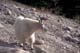 MOUNTAIN GOAT IN SUMMER, JASPER NATIONAL PARK