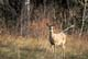 WHITE-TAIL DEER DOE AT FOREST EDGE, PRINCE ALBERT NATIONAL PARK